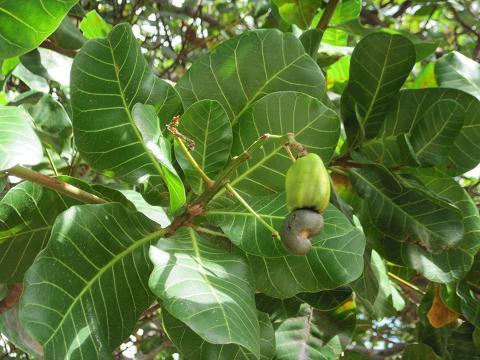 cashewfrukt