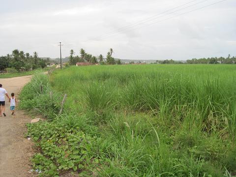 8-sockerplantage