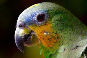 papegoja amazonas
